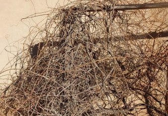 Wisteria vines against an adobe wall